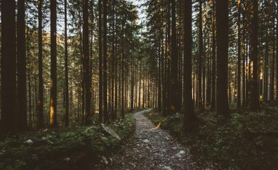 Sunbeams, morning, forest, pathway, nature