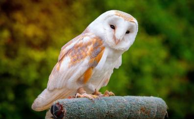 Barn owl potrait predator