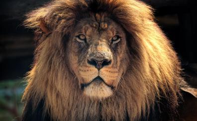 Lion muzzle predator