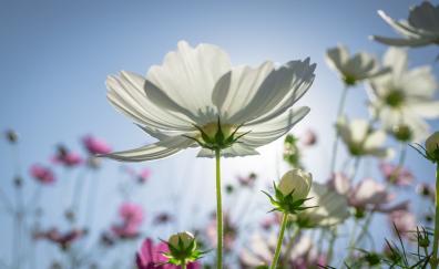 Cosmos plants flowers meadow