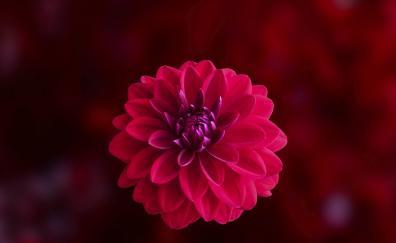 Pink, blur, portrait, Dahlia, flower