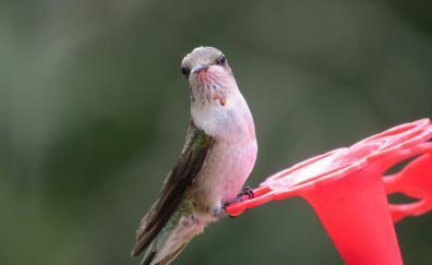 Small bird hummingbird