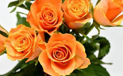 Orange roses, flowers, Bouquet