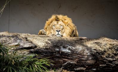 Lion, Relaxed, Predator, Animal, Wild