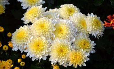 Bunch dahlia flowers white