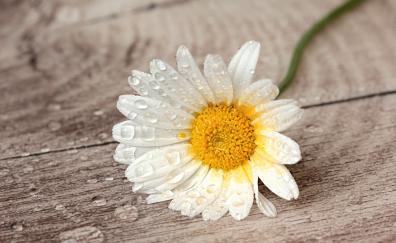 Still life, white daisy, water drops