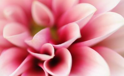 Petals close up pink flower