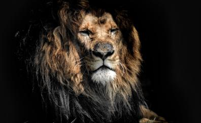 Aged lion, beast. predator, wild cat muzzle