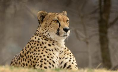 Confident cheetah predator
