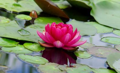 Lotus, flower, pink, leaf, lake
