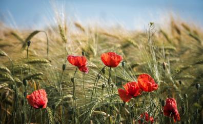 Summer red poppy meadow