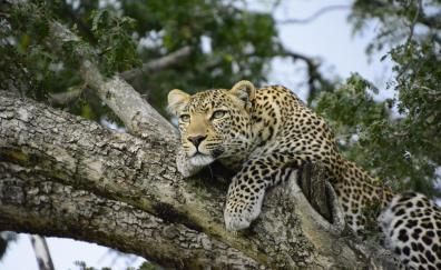 Relaxed, leopard on tree, predator