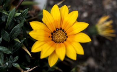Marigold flower bloom