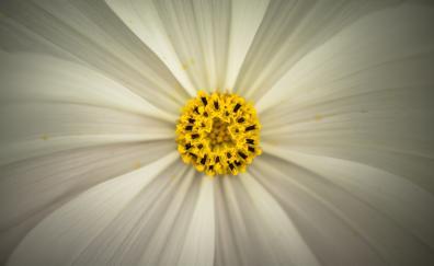 Cosmos pollen closeup
