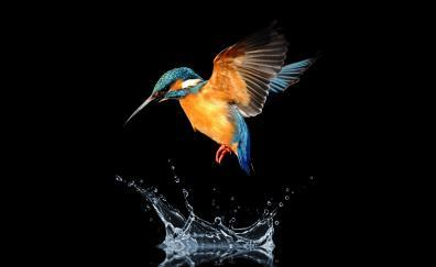 Blue tailed hummingbird water splash