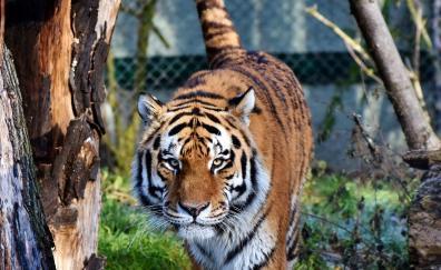 Tiger predator looking straight