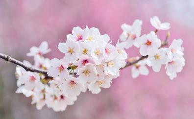 Cherry tree flowers blossom