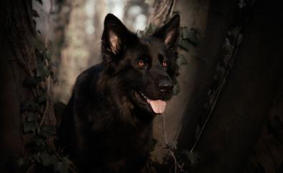 German shepherd dog pet animal black