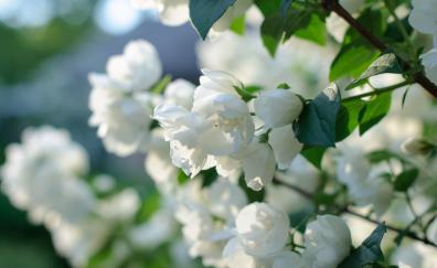 Blossom white flowers spring