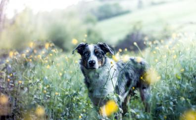 Meadow outdoor australian shepherd