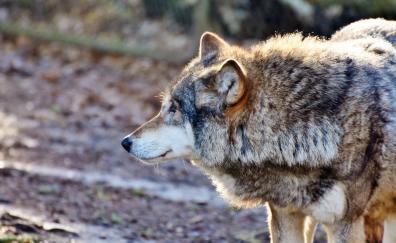 Wolf muzzle wildlife
