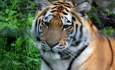 Wildlife, tiger, predator, animal, muzzle