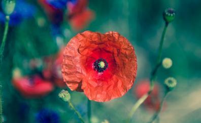 Poppy flower portrait