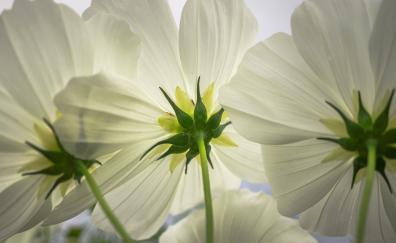 Cosmos white flowers spring