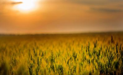 Agriculture cereal corn farm sunset