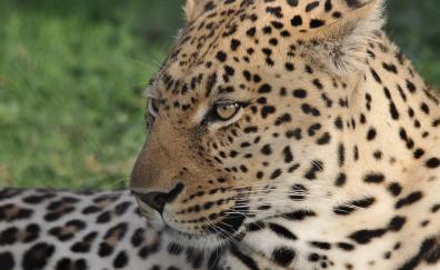 Leopard animal muzzle