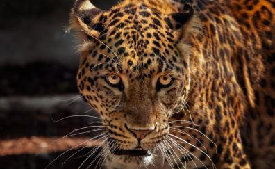 Wild predator curious jaguar animal