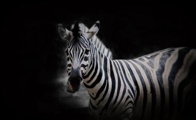 Animal wildlife zebra