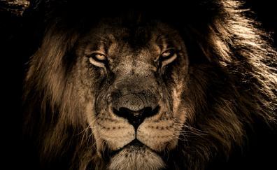 African lion muzzle 4k