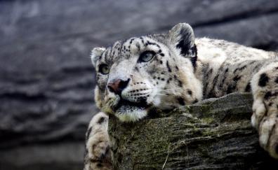 Calm predator curious snow leopard