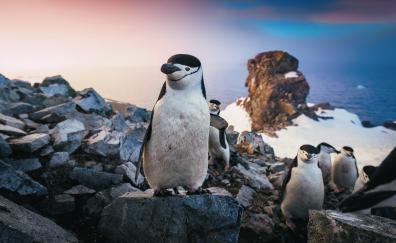 Penguin, coast, rocks, animals