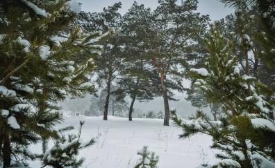 Pine trees winter forest snow