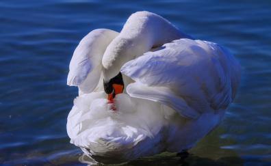 White swan, love bird, swim