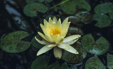 Drops yellow water lily flower