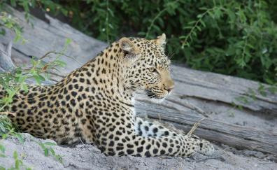 African leopard wild animal