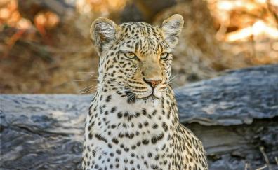 Leopard wild cat