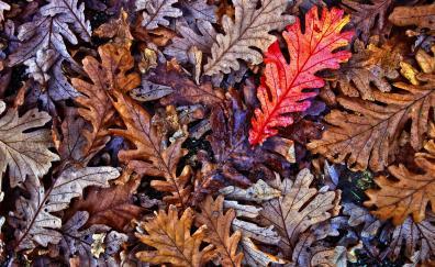 Oak leaves autumn