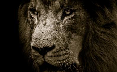 Lion muzzle fur 4k