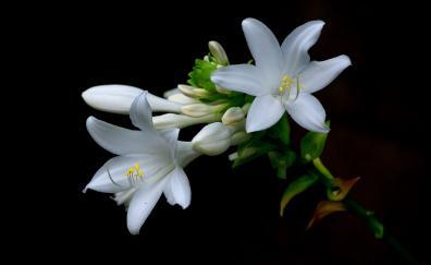 White daylilies flowers
