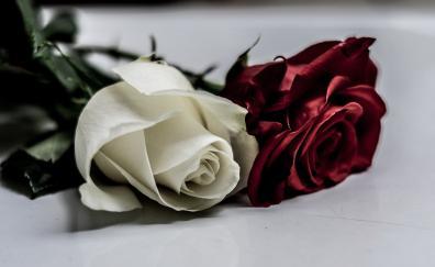 White red roses flower