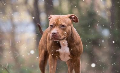 Pitbull dog winter