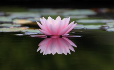 Lake flower pink water lily 4k