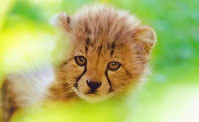 Cheetah cute cub 4k