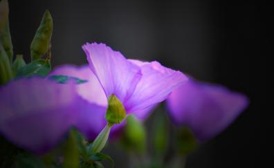 Close up, bloom, blue flowers, portrait