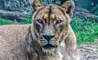 Lioness, predator, animal
