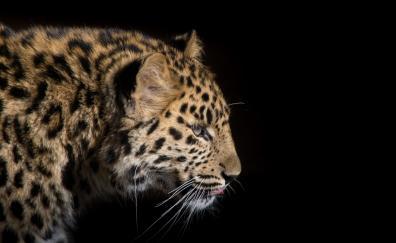 Snow leopard predator 4k